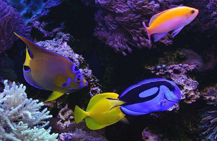 Angelfish Trained To Be Reef Safe Wmas Message Board